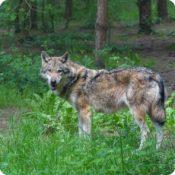 Colloque sur le loup