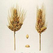 L'histoire évolutive des blés sous la loupe